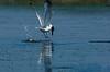 Herring Gull with Crab<br /> <br /> Grand Desert, NS