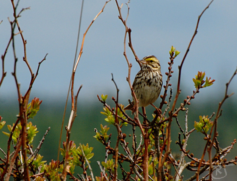 """Savannah Sparrow (Passerculus sandwichensis)  A small American sparrow. It is the only widely accepted member of the genus Passerculus. Recent comparison of mtDNA NADH dehydrogenase subunit 2 and 3 sequences indicates that the Ipswich Sparrow, formerly usually considered a good species (as Passerculus princeps), is a well-marked subspecies of the Savannah Sparrow, whereas the southwestern subspecies should be recognized as distinct species Large-billed Sparrow (Passerculus rostratus). It is named after Savannah, Georgia where one of the first specimens of this bird was collected.  This passerine bird breeds in Alaska, Canada, northern, central and Pacific coastal USA, Mexico and Guatemala. The Pacific and Mexican breeders are resident, but other populations are migratory, wintering from the southern United States to northern South America. It is a very rare vagrant to western Europe.  This species has a typically sparrow-like dark-streaked brown back, and whitish underparts with brown or blackish breast and flank streaking. It has a yellowish or whitish crown and eyebrow stripes. The cheeks are brown and the throat white.  These birds forage on the ground or in low bushes. They mainly eat seeds, but insects are also eaten in the breeding season. They form flocks in the winter to migrate. Source: <a href=""""http://en.wikipedia.org/wiki/Savannah_Sparrow""""> Wikipedia.org </a>.    Grand Desert, Nova Scotia.  19 June 2008,"""