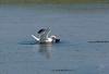 Herring Gull Snagging A Crab<br /> <br /> Grand Desert, NS