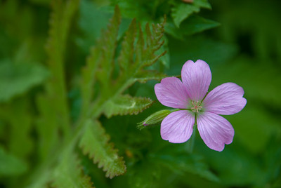 Yes, one of these little flowers from my garden - don't know why they fascinate me.