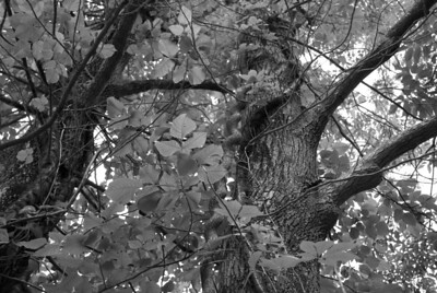 This thick vine is taking over the tree.  In black and white it looks suitably creepy.