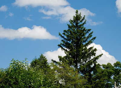 Love the look of the dark green pine against the blue sky and puffy clouds.