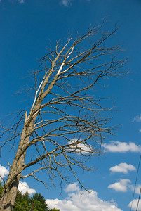 Yes, I like the look... dead trees against the blue sky.
