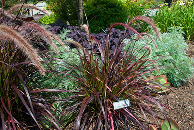 I think this one was Red Fountain Grass.  Very pretty.