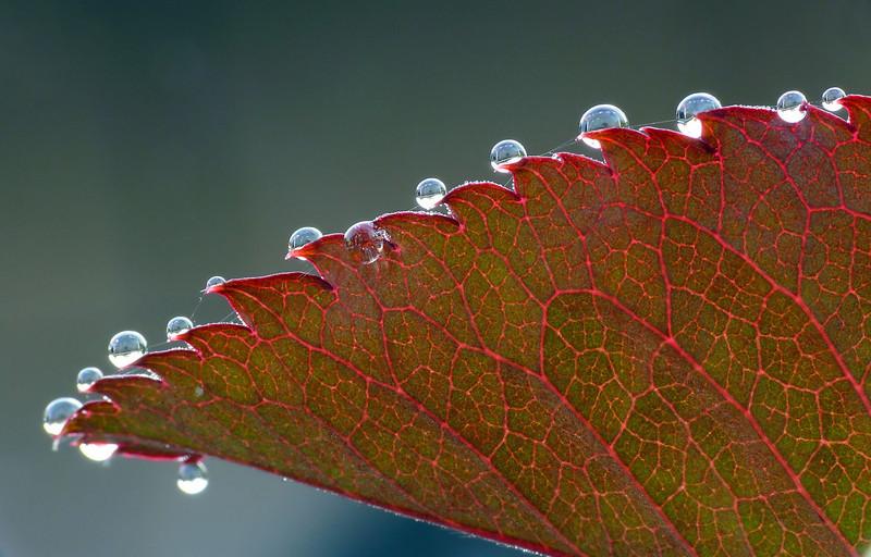 03-22-08 Rose Leaf and Dew