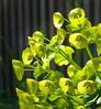 03-22-08 Euphorbia