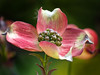 03-29-08 Dogwood Blossom
