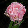 3-25-08 Ellen's Yard<br /> <br /> These gorgeous pink tulips were in perfect form. Too bad they won't last until April 12th when Ellen's daughter will get married here in the garden.