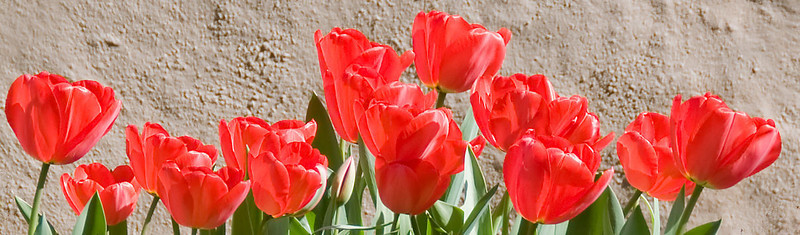 03-24-08 Red Tulips