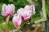 03-03-08 Magnolia Blossoms