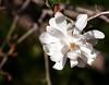 03-24-08 Star Magnolia