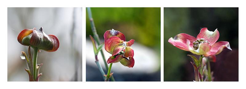 03-29-08 Dogwood Blooming