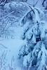 Bending Scotch Pine