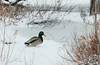 Mallard watching over the other ducks