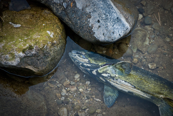 Dead fish in the stream.
