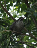 Common Koel (Rainbird or Cooee Bird)