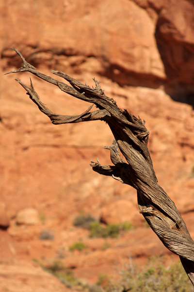 A gnarled juniper reaches a dead arm to the sky amid the bright red rocks of Moab.