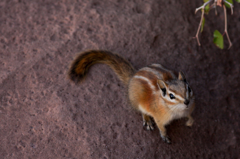 A tiny Colorado Chipmunk watches the camera nervously, already moving to run away.