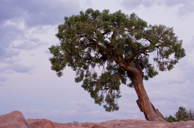 A small juniper rises from the exposed sandstone at Dead Horse Point near Moab.