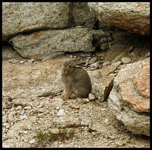 Bunny Rabbit, Base of Columbia Finger, Yosemite.