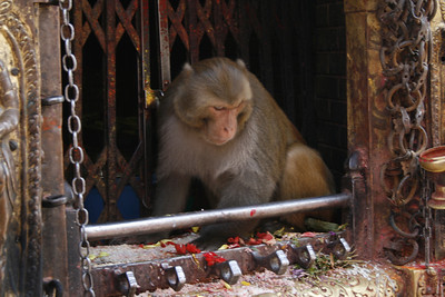 Monkey eating offerings in a stupa (small temple).