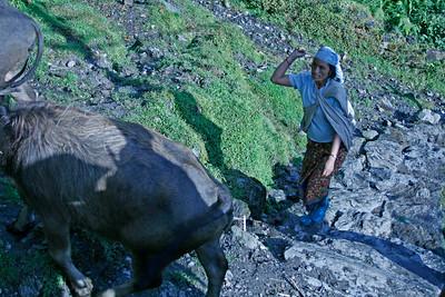 Herding water buffalo.