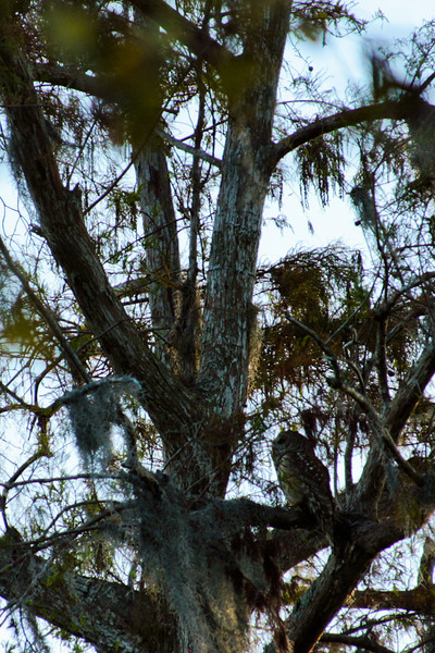 Overhead, an owl hoots from a tree before flying off, disturbed by the camera shutter more than a hundred feet away.