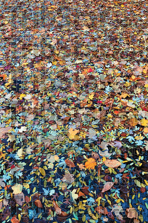 Fell: Fallen leaves carpet the surface of a pond on Terre Haute's east side.