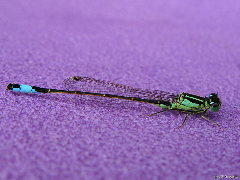 Damselfly at the campsite