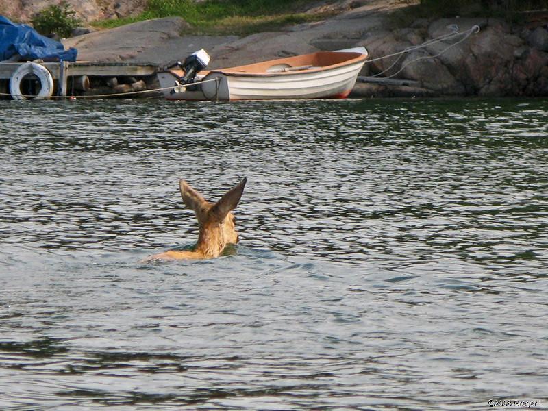 Roe Deer (rådjur)
