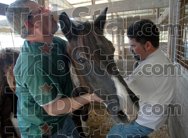 Ouch: Vet tech Gregory Reilly (L) holds the head of a horse as Dr. Michael Staub gives it an injection at the Sullivan Co. fairgrounds Thursday afternoon. The horse is standing on the toe of Reilly so he's letting out a groan during the process. The horse is one of several humane society officials removed from a farm near Sullivan Wednesday.