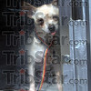 Rescued: A small dog peers through plexiglass cage in an air conditioned trailer just prior to being taken to the Missouri Humane Society.
