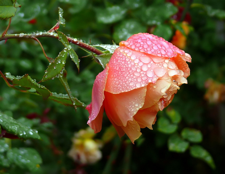 10-03-08 About Face - first rain of the season - love it on the roses.