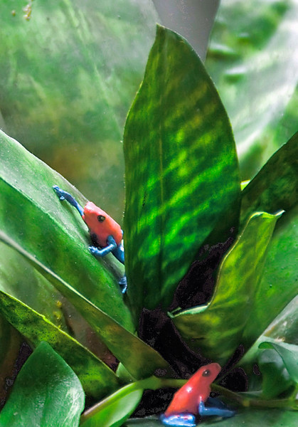 10-07-08 SF Natural History Museum - Rain Forest exibit <br /> <br /> Red and Blue frogs - these are the tiniest little frogs you've ever seen! And just this color. Too bad I didn't get them in focus.