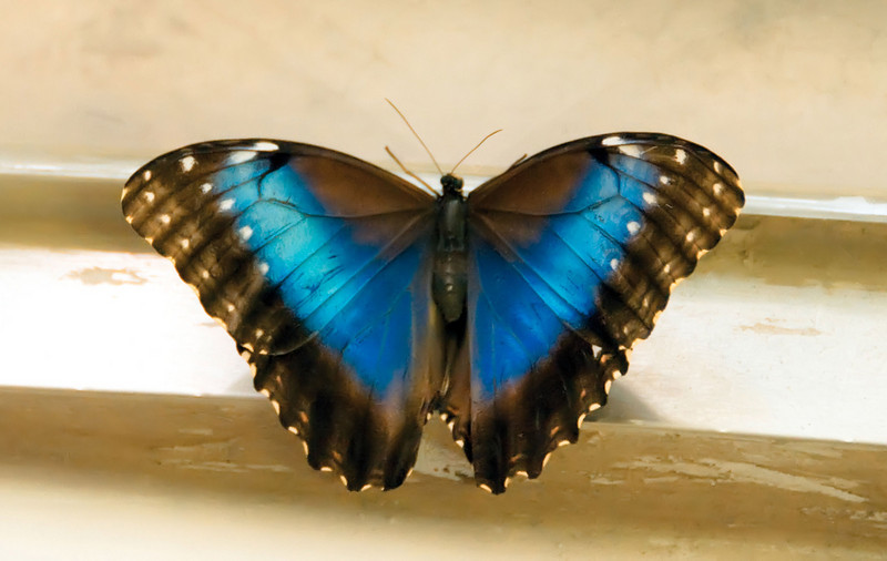 10-07-08 SFNatural History Museum - Blue Butterfly