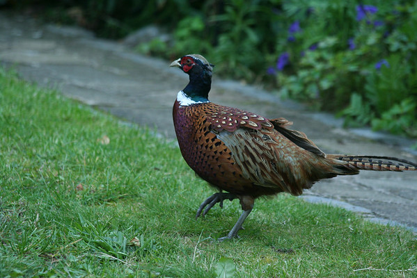A pheasant appears in our garden