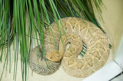 Aruba Island Rattlesnake