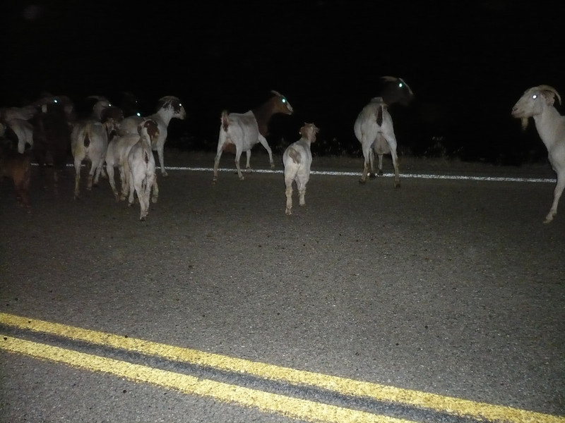 Night goats