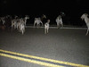 Night goats
