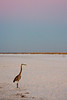 A lone heron walks the beach in the pre-dawn light.