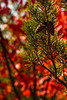 Pinecones stand out against the bold colors of autumn in Kentucky.