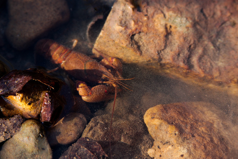 A crawdad hunkers down between rocks in the small creek.