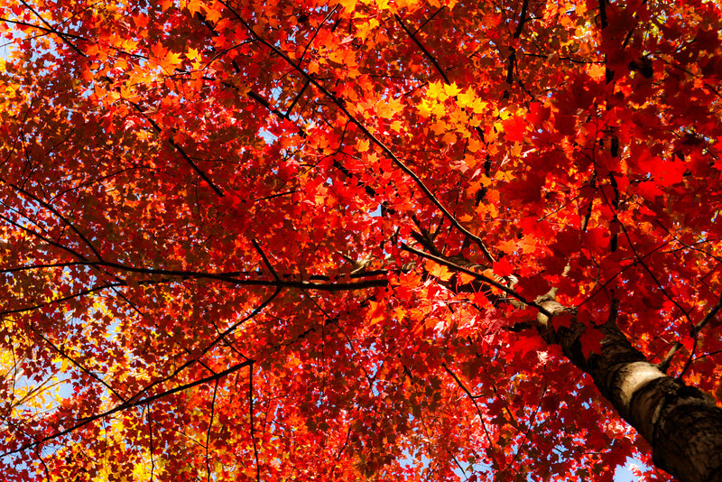Sunlight illuminates a bright red tree on a Red River Gorge hillside.
