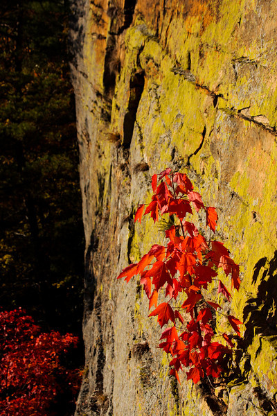 A tiny tree sprouts on the cliffside over the Red River Gorge.