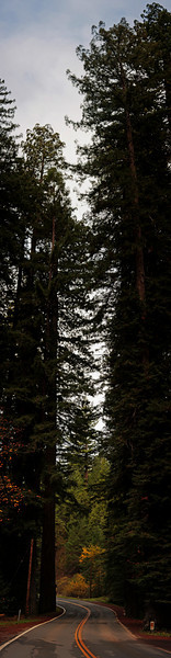 Several photos stitched to display the full height of the giant redwoods.