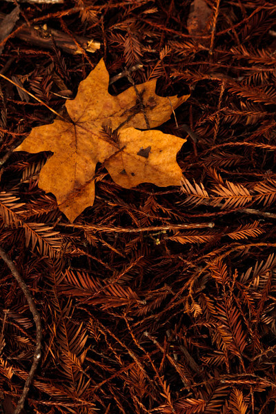 Redwood leaves offer a soft backdrop for a single maple leaf under the redwoods of northern California.