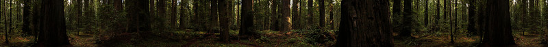 A stitched 360 degree pano of the redwoods.  Kelsey is visible walking along a trail in the full-res.