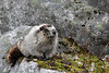 And now on to the fur of the matter.  This hoary marmot was kind enough to pose for a number of photos in various positions.