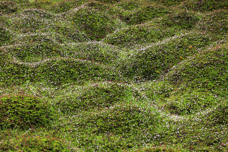Tiny white flowers bloom by the millions on the mossy slopes of the mountains.