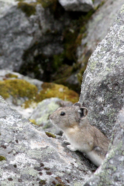 A curious Pika pokes its head out of the rocks for a quick look around before fleeing underground again.
